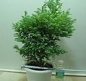 블루버드4번-청진백-인기식물-동일상품배품 