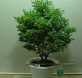블루버드6번-청진백-인기식물-동일상품배품 