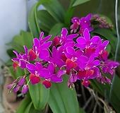 호접.체리.군생2촉.꽃마당히트상품.자주핑크색.신상품입고.꽃형 아주아주아주 작고 귀여운형.작은품종.귀한품종.키우기 쉬운난.꽃대있어요.|