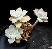 살구미인(자연군생) 12-159 Graptoveria Titubans