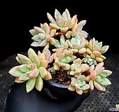 아메치스교배종 13-58|Graptopetalum amethystinum