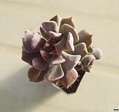 큐빅후로스티|Echeveria pulvinata Frosty
