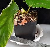 오렌지누브라(베고니아)|Echeveria agavoides Rubra