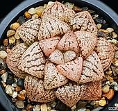 오쿠보픽타 119-118|Haworthia picta