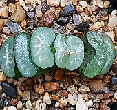 옥선(이름모름) 119-150|Haworthia truncata
