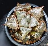 주탄동자(대묘) 119-165|Haworthia Syuten dougi