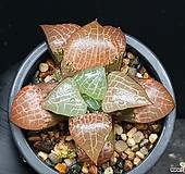 수정콤프토니아(대묘) 119-174|Haworthia obtusa suishiyou