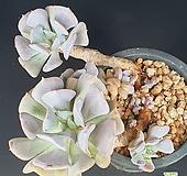 큐빅프로스티652|Echeveria pulvinata Frosty