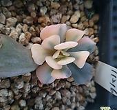 큐빅프로스티금|Echeveria pulvinata Frosty
