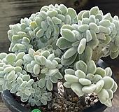 프로스티철화|Echeveria pulvinata Frosty