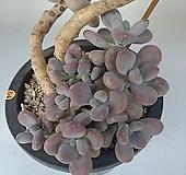 묵은아메치스 3-64주|Graptopetalum amethystinum