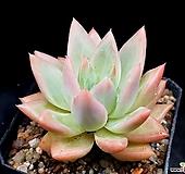 아메치스교배종 16-165|Graptopetalum amethystinum