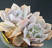 큐빅프로스티992|Echeveria pulvinata Frosty