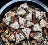 실생픽타 123-125|Haworthia picta