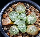 수정101 123-134|Haworthia obtusa suishiyou