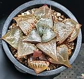 주탄동자(대묘) 123-139|Haworthia Syuten dougi