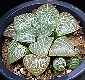 수정101 123-161|Haworthia obtusa suishiyou