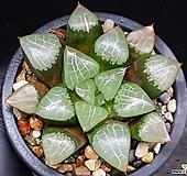 양창콤프토니아 123-180|Haworthia comptonia