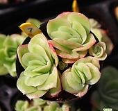 라즈아가금 070730 Echeveria agavoides sp