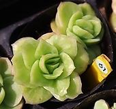 라즈아가금 610730 Echeveria agavoides sp
