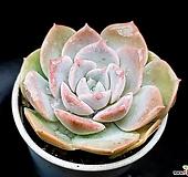 라우이교배종 18-97 Echeveria laui