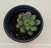 홍포도(0801)|Graptoveria Ametum