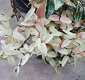 주작산 무늬 마삭 (변이종)|