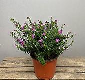 [희희낙락플라워]쿠페아 소품 구피아 보라색꽃 사계절꽃|