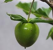 특가 일본 수입 활착 홍대실 노아시 홍경산 원목 단품|