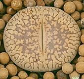 리톱스 c2 사이즈좋고무늬좋아요  0826 산아래다육이|Lithops