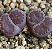 리톱스 바커스-40L. salicola Bacchus|Lithops