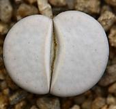 리톱스 슈도c244 -152L. pseudotruncatella ssp. groendrayensis|Lithops