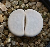 리톱스 슈도c244 -40L. pseudotruncatella ssp. groendrayensis|Lithops