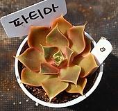 파티마 080810 Crassula hemisphaerica