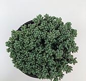 희성미인 (00926) Pachyphytum oviferum