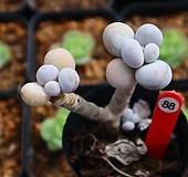 문스톤 880927 Pachyphytum Oviferum Moon Stone