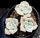 러블리로즈(중) 27-92|Echeveria Lovely Rose