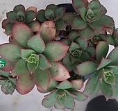 묵은까라솔한몸_97 Aeonium decorum f variegata