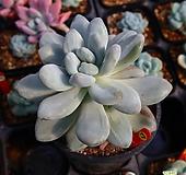 후레뉴금 770927|Pachyphytum cv Frevel
