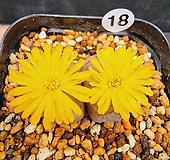 황화원공 대형종|Conophytum Hanazono