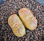 마우가니 교배종 (대형종 )|Conophytum maughanii