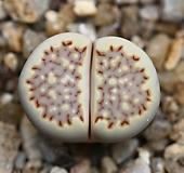 (특가)리톱스 쥴리 Lithops julii fulleri-21(합식으로 분채배송안됩니다.)|Lithops julii var.fulleri