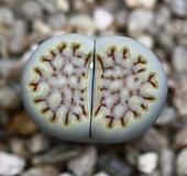(특가)리톱스 쥴리 Lithops julii fulleri-27(합식으로 분채배송안됩니다.)|Lithops julii var.fulleri