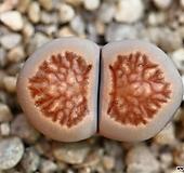 (특가)리톱스 쥴리 국장옥-30(합식으로 분채배송안됩니다.)Lithops julii Kikushogyoku|Lithops julii var.fulleri