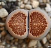 (특가)리톱스 쥴리 국장옥-31(합식으로 분채배송안됩니다.)Lithops julii Kikushogyoku|Lithops julii var.fulleri