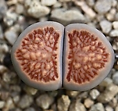 (특가)리톱스 쥴리 국장옥-32(합식으로 분채배송안됩니다.)Lithops julii Kikushogyoku|Lithops julii var.fulleri