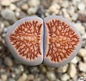 (특가)리톱스 쥴리 국장옥-33(합식으로 분채배송안됩니다.)Lithops julii Kikushogyoku|Lithops julii var.fulleri