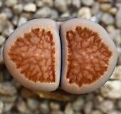 (특가)리톱스 쥴리 국장옥-36(합식으로 분채배송안됩니다.)Lithops julii Kikushogyoku|Lithops julii var.fulleri