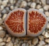 (특가)리톱스 쥴리 국장옥-37(합식으로 분채배송안됩니다.)Lithops julii Kikushogyoku|Lithops julii var.fulleri