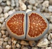 (특가)리톱스 쥴리 국장옥-38(합식으로 분채배송안됩니다.)Lithops julii Kikushogyoku|Lithops julii var.fulleri